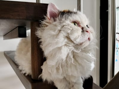 gato de pelo chino blanco