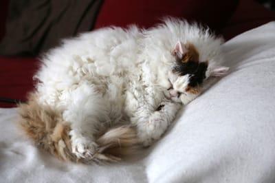 gato de pelo chino durmiendo