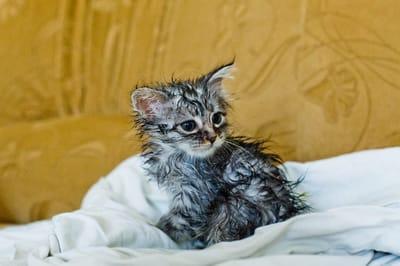 los gatitos bebes sin vacunas se pueden bañar