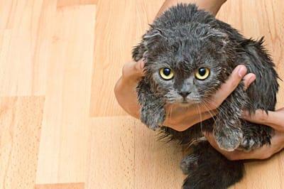 bañar a un gato
