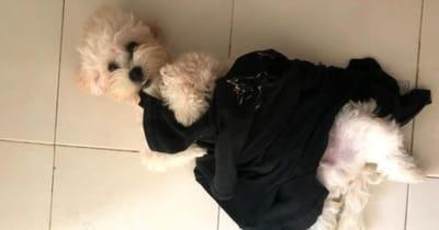 pepito perro