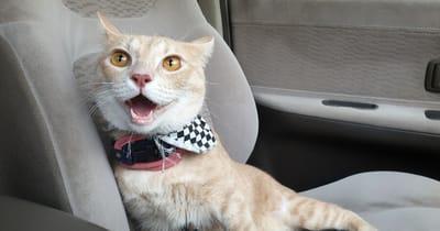 gato acalorado coche