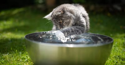 gato jugando con agua golpe de calor
