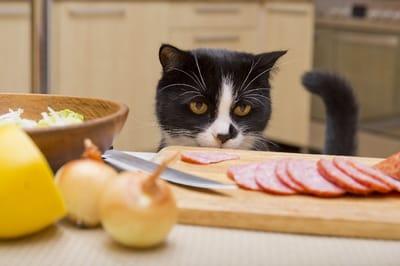 gato viendo la comida