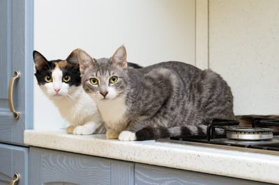 gatos en la encimera