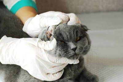 chequeo higiene gato