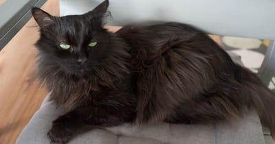 gato angora turco negro