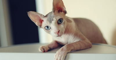 gatto di razza sphynx