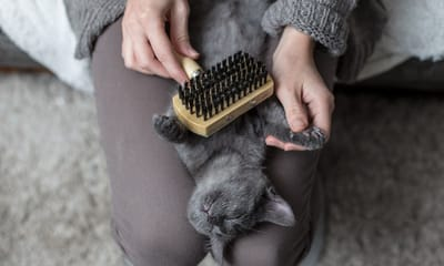 cepillar gato gris
