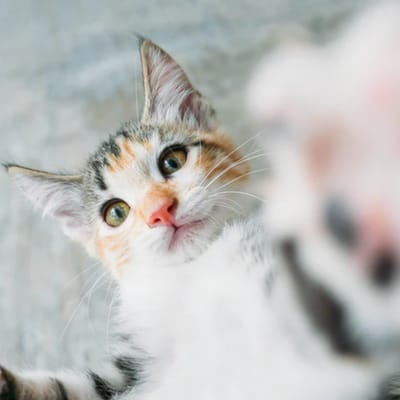 gato criollo caracteristica