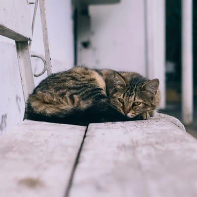 gato criollo cuanto vive