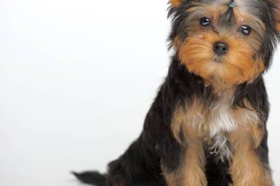 Peluso es un Yorkshire Terrier, como el de esta foto. Fuente: Shutterstock
