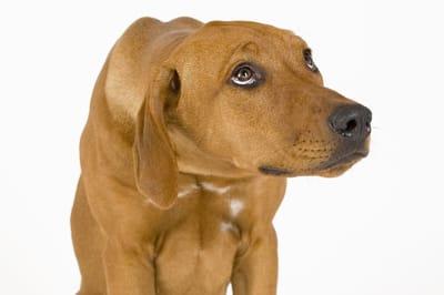 El coronavirus canino tiene signos similares al parvovirus. Foto: Shutterstock