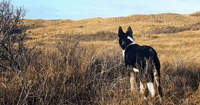 Border collie kijkt uit over duinen