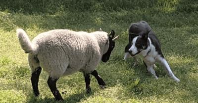 Border Collie tegen over schaap