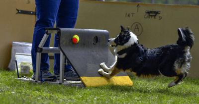 Hond raakt flyball apparaat aan om bal te lanceren