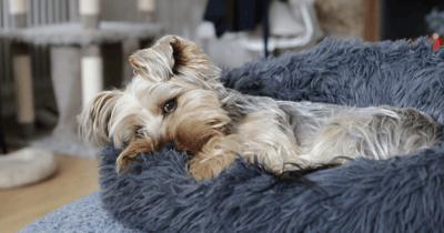 Hond in mand na pijnstilling