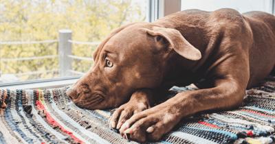 Hond ligt voor raam
