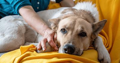 Hond ligt moe op bank na epileptische aanval