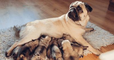 Moederhond voed puppies