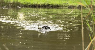 Hond zwemt met eend in bek