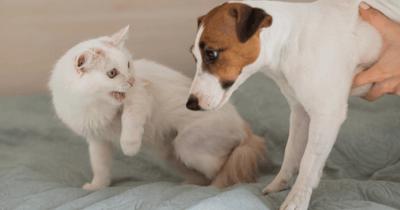 Kat blaast naar hond