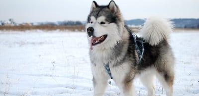 Alaskan Malamute nella neve