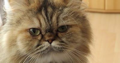 gatto-persiano-a-pelo-lungo