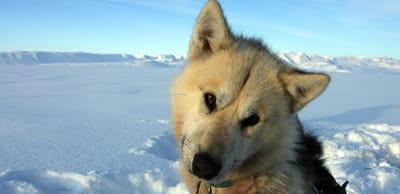 groenlandese nelle neve in primo piano