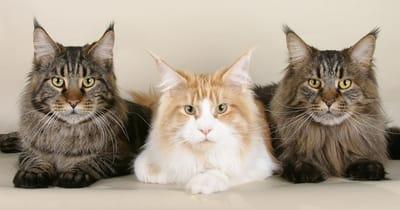 tre-gatti-maine-coon