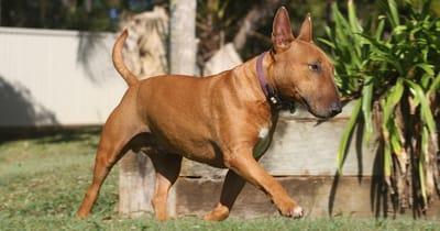 Un Bull Terrier
