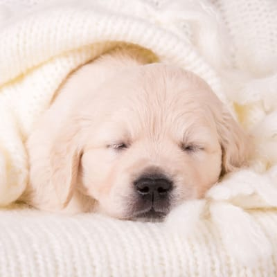 cucciolo-di-cane-color-crema-che-dorme
