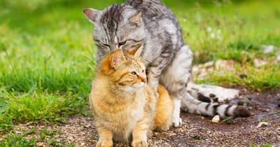 due gatti che copulano