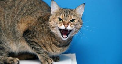 gatto arrabbiato su sfondo azzurro