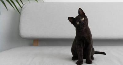 gatto nero con testa storta