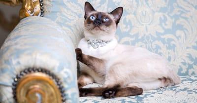 gatto su divano con collana