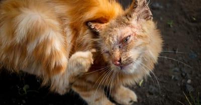 rogna-malattia-della-pelle-del-gatto