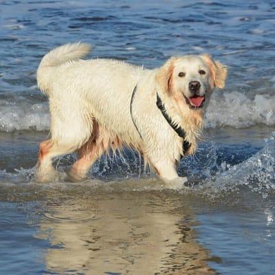 golden retriever al mare