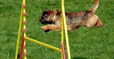 Cagnolino che salta un ostacolo