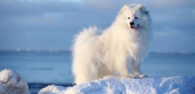 Samoiedo nella neve con mare alle spalle