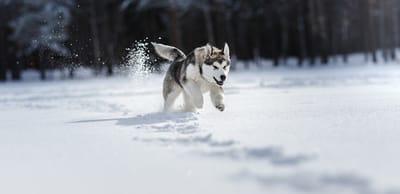 Siberian Husky corre nella neve