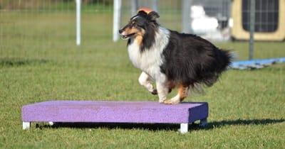 Cane sopra un tavolo per agility viola