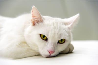 biały kot sennik