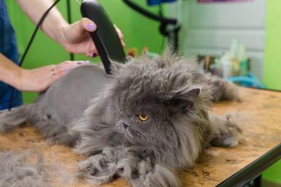 golenie kota u grommera