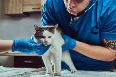przestraszony kot u wtereynarza