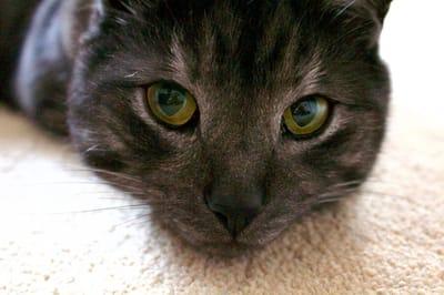 smutny kotek z czarnym noskiem