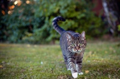 zachowanie kota po kastracji