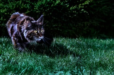 kot poluje w nocy