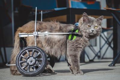 kot na wózku