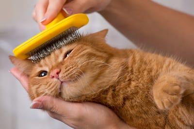 opiekunka czesze rudego kota